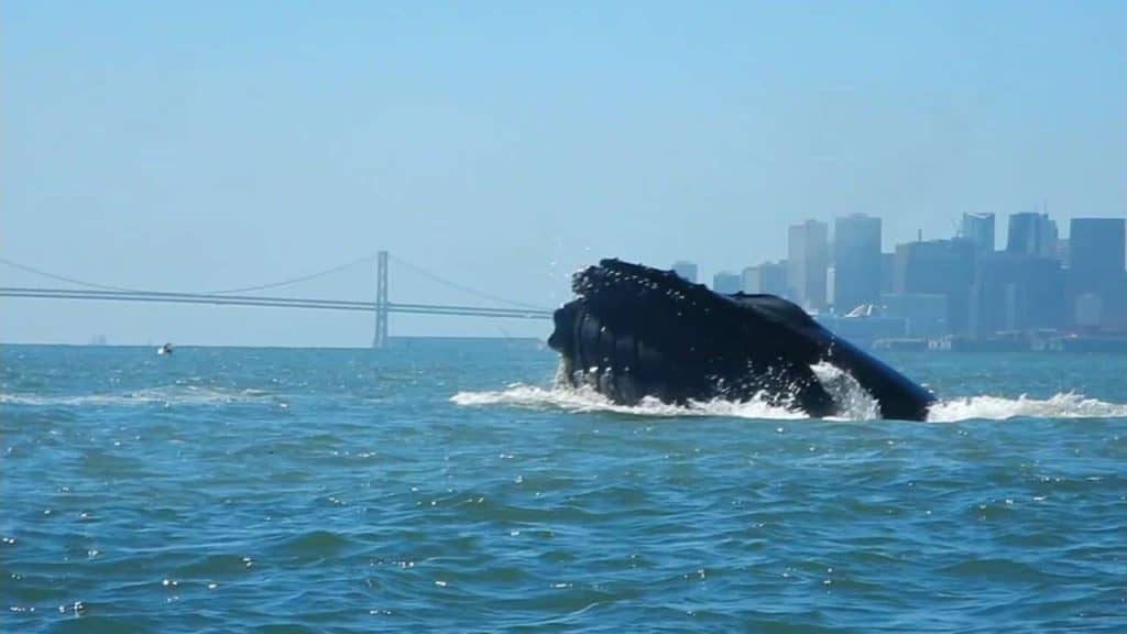 Humpback whales seen from Just Dreaming yacht charter