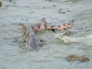 Leopard Sharks spotted frolicking on board yacht charter
