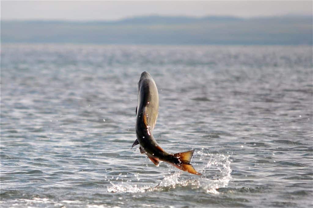 Salmon Jumping Out of San Francisco Bay